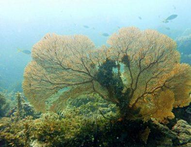 coral-dive-karimunjawa