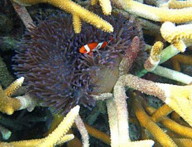 karimunjawa-nemo-fish